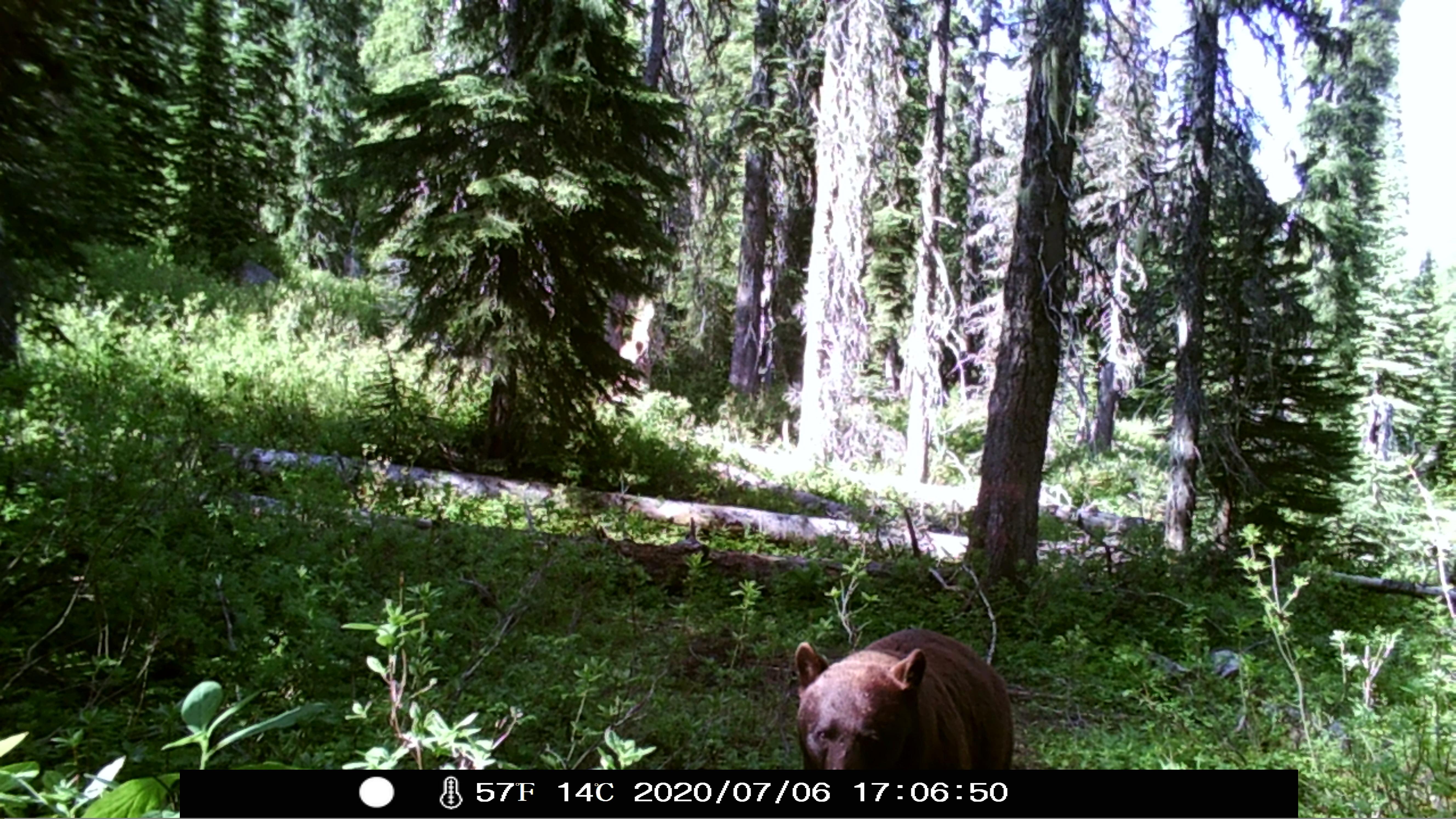 Black bear gazes at game camera